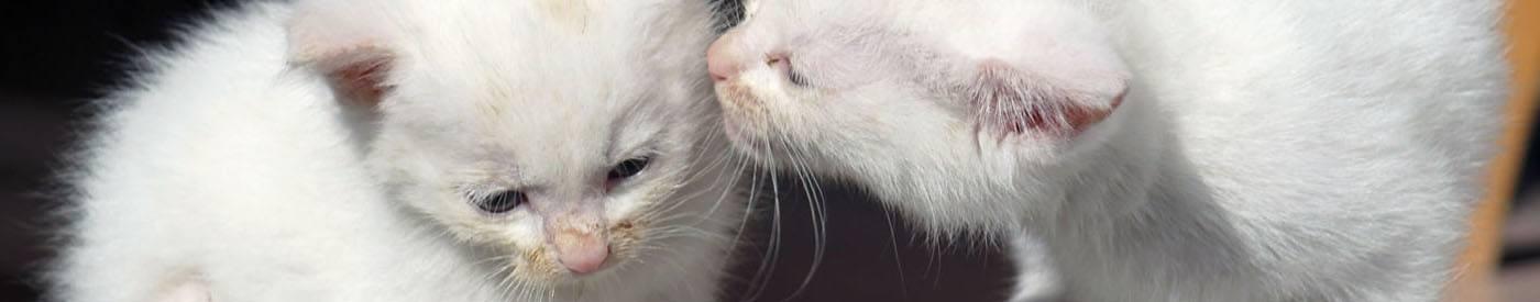 Socialiseren - header witte kittens