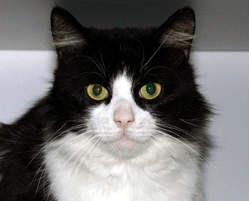 Adoptiekat Figaro